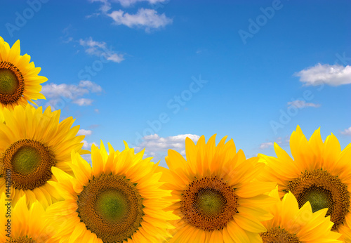 Foto-Kissen - sunflowers and blue sky (von Kotangens)