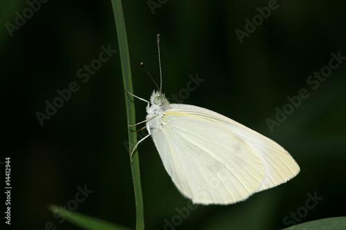 white crataegi