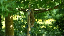 Grey Squirrel Taking Peanuts From Bird Feeder