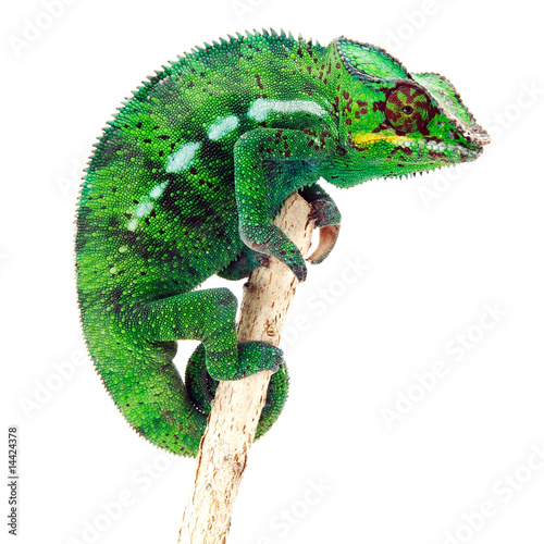 Foto op Plexiglas Kameleon Caméléon sur fond blanc