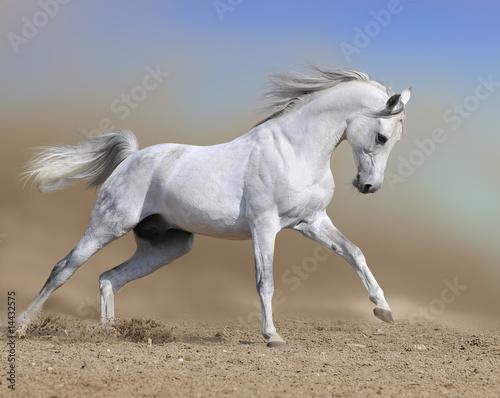 Fotografia, Obraz white horse stallion runs gallop in dust desert, collage paint