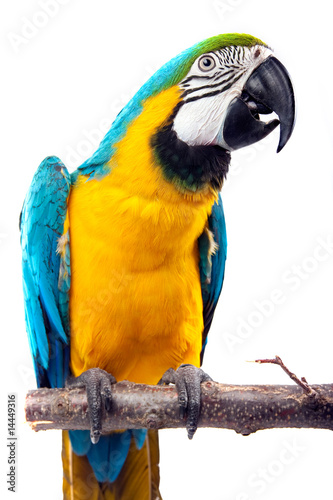 Foto op Aluminium Papegaai Parrot