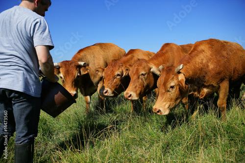 Foto éleveur et troupeau de vaches