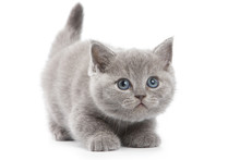 British Kitten On White Backgr...
