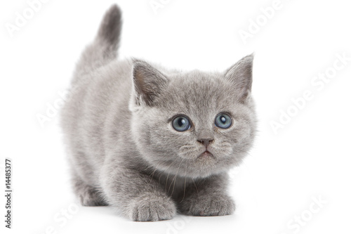 Valokuvatapetti British kitten on white background