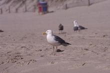 Grey Black White Seagulls