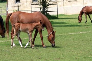 Fohlen mit Mutter auf der Weide