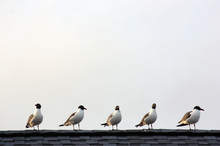 Gull Gossip