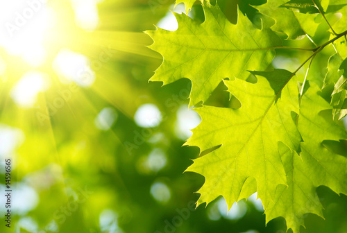 Doppelrollo mit Motiv - Green leaves with sun ray