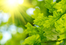 Green Oak Leaves With Sun Ray