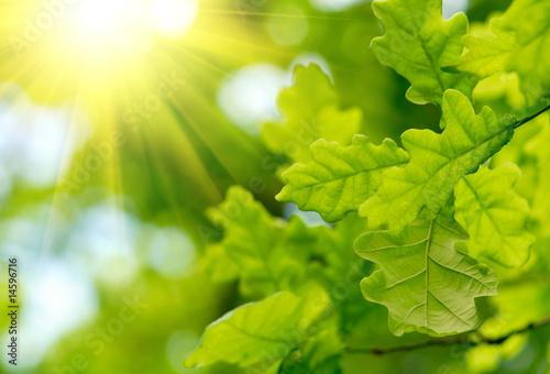 Obraz na plátně Green oak leaves with sun ray