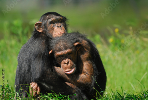 Photo close-up of two cute chimpanzees (Pan troglodytes)