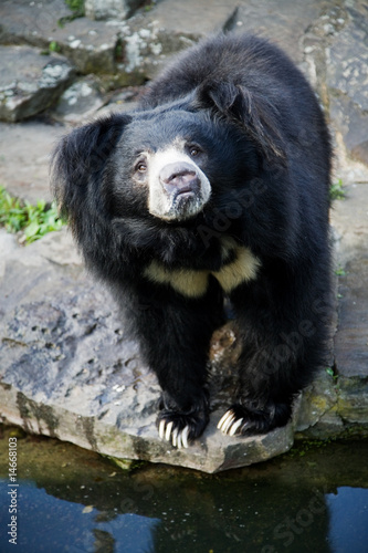 Photo  Himalayan black bear