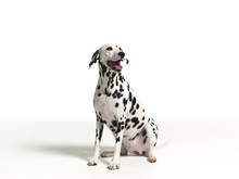 Dalmation On White Background 3
