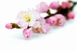 Pink Plum Blossom Isolated on the White