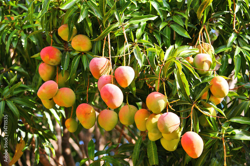 Mango tree with ripening fruits