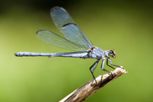 Damselfly On Out Of Focus Back...