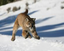 Mountain Lion Jumping