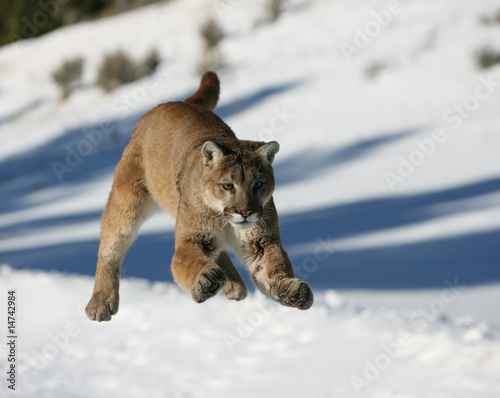 Ingelijste posters Puma Mountain Lion jumping