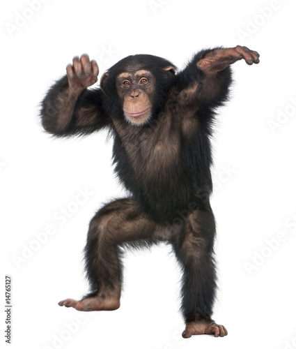 Photo Young Chimpanzee dancing