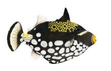 Clown Triggerfish - Balistoide...