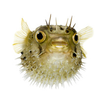 Long-spine Porcupinefish Also ...