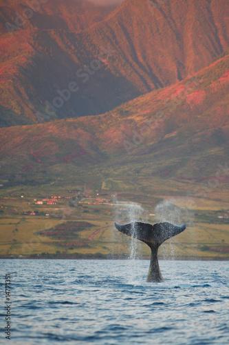 Foto-Rollo premium - Humpback Fluke (von Robert Plotz)