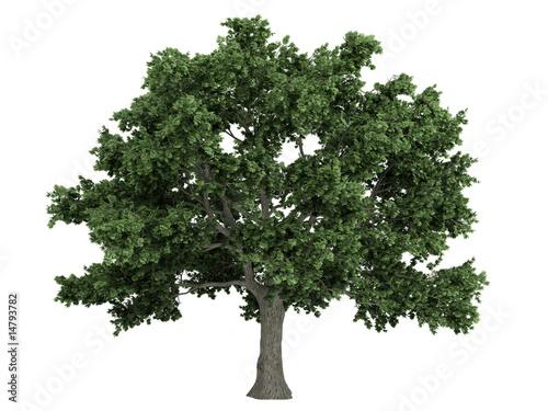 Sugar maple (Acer saccharum) Canvas Print