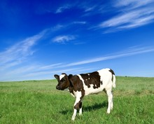 Calf On A Pasture
