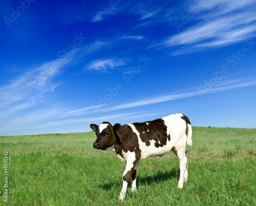 Canvas calf on a pasture