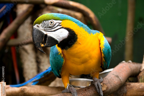 Fototapety, obrazy: colorful parrot is looking at camera