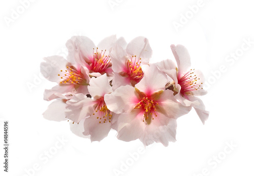 Almond tree pink flowers. Poster