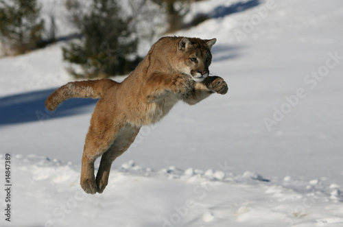 Tuinposter Puma Mountain Lion jumping