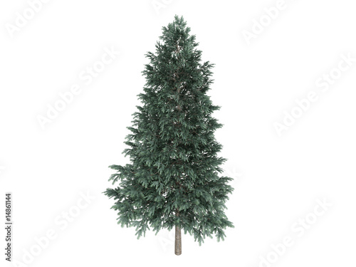 Photo Spruce_(Picea_abies)