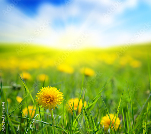 Foto-Duschvorhang - dandelions and sunny day