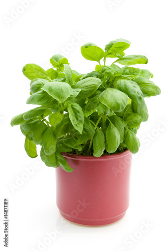 Poster Vegetal Basil plant isolated on white background