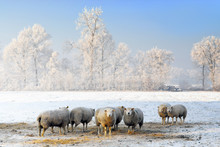 Sheep In Dutch Winter Landscape