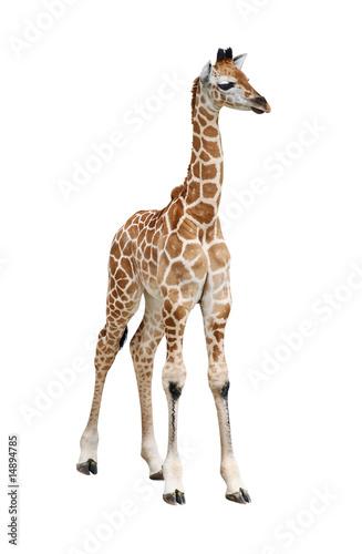 Giraffe calf on white