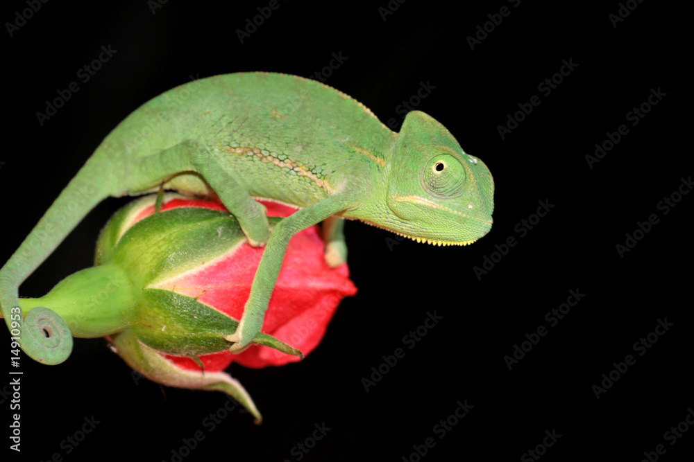 chameleon and rose