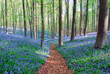 canvas print picture - bluebell hyacinths in hallerbos belgium
