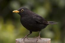 Blackbird Shovel