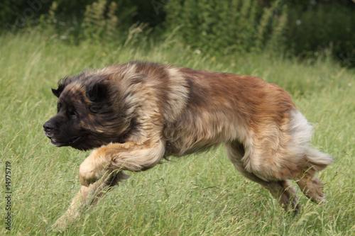 Poster de jardin Vache chien leonberg en course de trois quart - vitesse sport nature