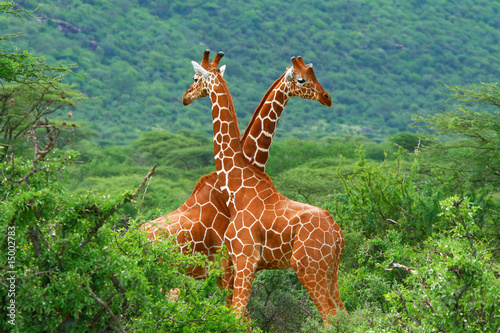 Fight of two giraffes Canvas Print