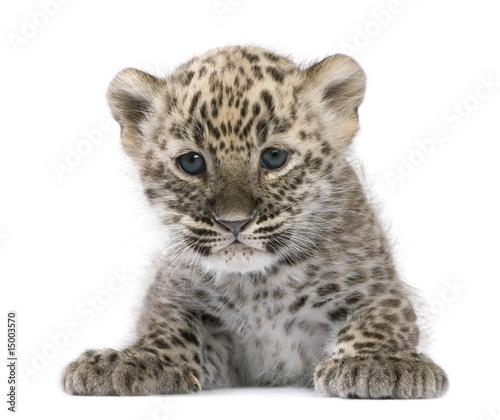 Foto-Flächenvorhang ohne Schienensystem - Persian leopard Cub (6 weeks) (von Eric Isselée)