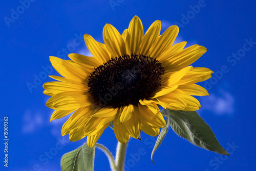 Girasole Con Sfondo Blu Cielo 3 Buy This Stock Photo And Explore