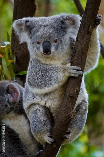 In de dag Koala koala bear in a tree
