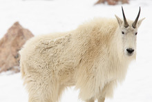 Mountain Goat In The Snow Look...