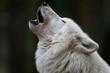 canvas print picture - Polarwolf