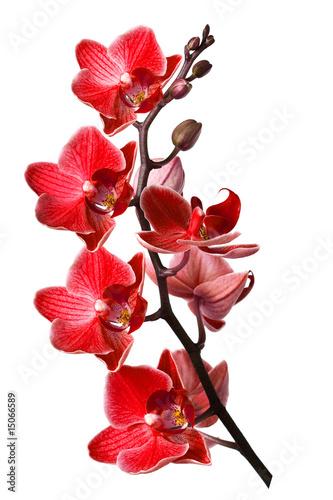 orchidea-odizolowywajaca-na-bialym-tle