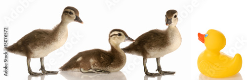 blended family - three baby mallard ducks and a rubber duck Wallpaper Mural
